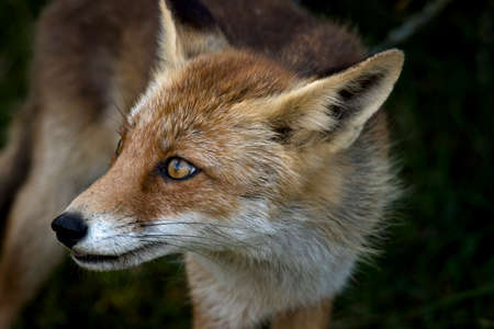 Red fox, close-up head