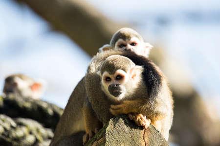 Squirrel monkey sitting on a treetrunk Stock fotó