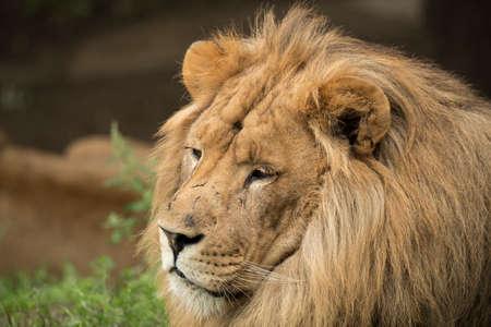 Headshot of a lion Stock fotó