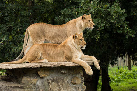 Two lionesses, one standing, one lying down Stock fotó