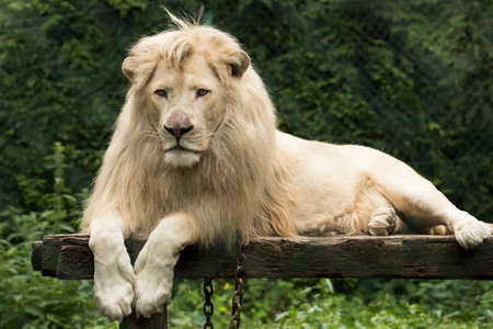 Young white lion lying on wooden platform