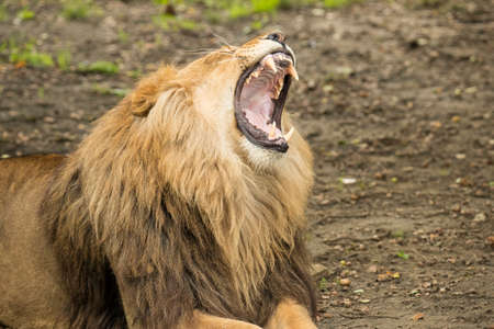 Lion yawning, mouth wide open