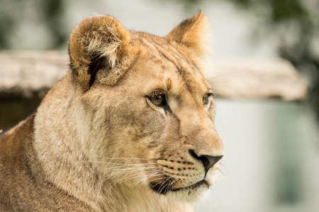 Headshot of a lioness, closeup