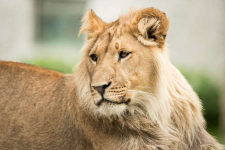 Headshot of a young lion