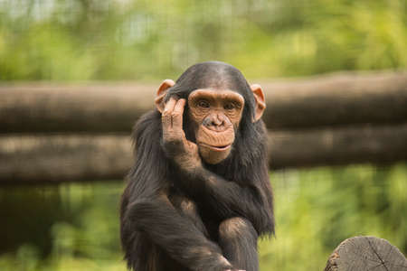pan paniscus: Young chimpanzee looking in camera