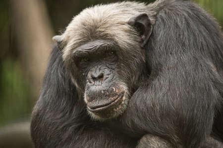 Old Chimpanzee looking in camera, closeup