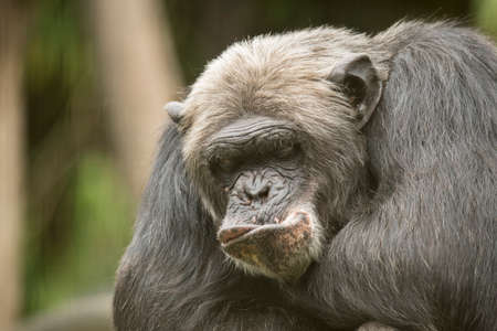 Old Chimpanzee, funny mouth, closeup