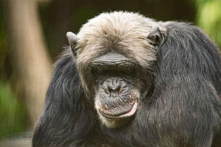 Closeup of old Chimpanzee thinking