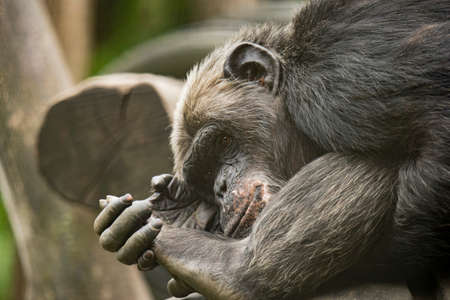 Old Chimpanzee, dreaming