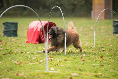 Dog,Belgian Shepherd Tervuren, running in agility competition