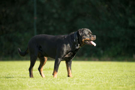 sequences: Dog, Rottweiler, standing on grass, tongue out
