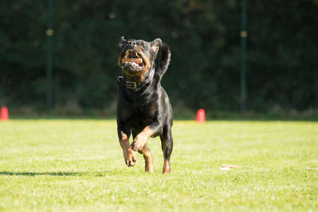 sequences: Dog, Rottweiler, running with a sorting stick in his mouth