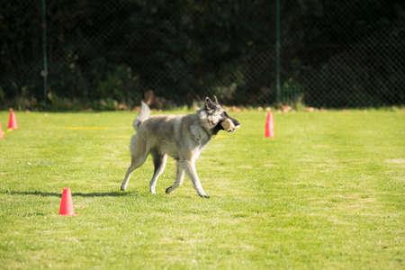 Dog, Belgian Shepherd Tervuren, fetching and running with dumbbell Stock fotó