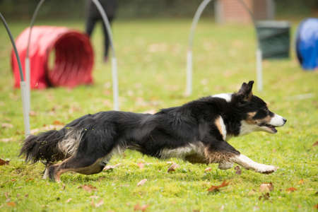 sequences: Dog, Border Collie, running in hooper competition