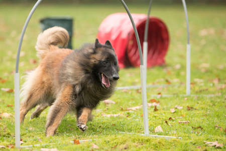 sequences: Dog,Belgian Shepherd Tervuren, running in agility competition