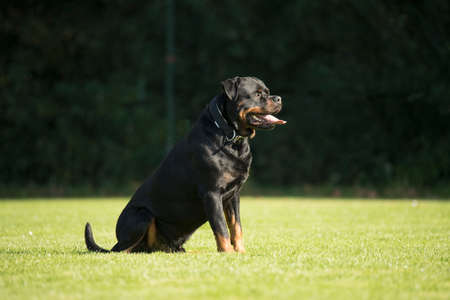 sequences: Dog, Rottweiler, sitting on grass, tongue out Stock Photo
