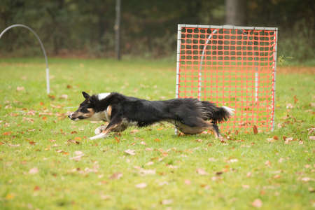 Dog, Border Collie, running in agility competition Stock fotó