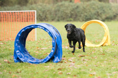 sequences: Dog, Labrador Retriever, running in hooper competition Stock Photo
