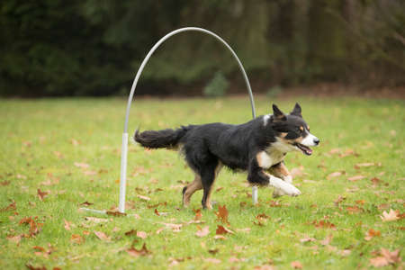 sequences: Dog, Border Collie, running in agility competition Stock Photo