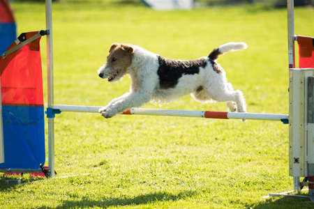 Dog, fox wire hair, jumping agility hurdle