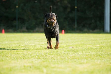 Dog, Rottweiler, running with a sorting stick is his mouth Stock fotó