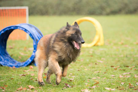 sequences: Dog, Belgian Shepherd Tervuren, running in hooper competition Stock Photo