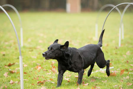 sequences: Dog, Labrador Retriever. running in agility competition