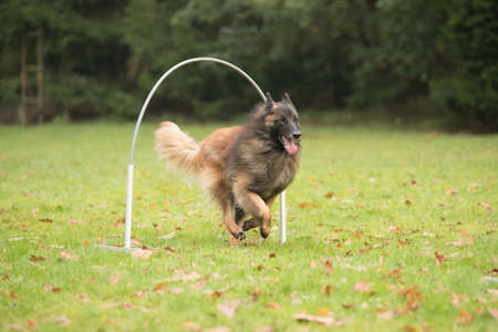 sequences: Dog, Belgian Shepherd Tervueren, running in agility competition