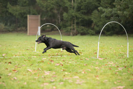 sequences: Dog, Labrador Retriever, running in agility competition