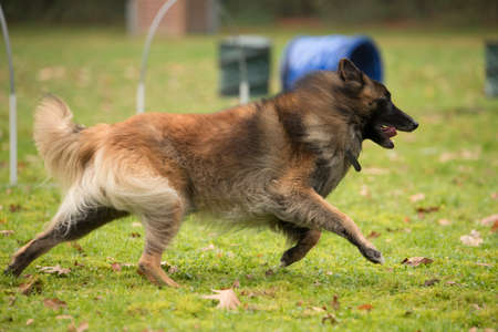 sequences: Dog, Belgian Shepherd Tervuren, running in agility competition Stock Photo