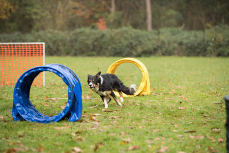 Dog, Border Collie, running in hooper competition