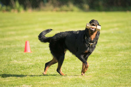 sequences: Dog, Beauceron, fetching and running with dumbbell Stock Photo