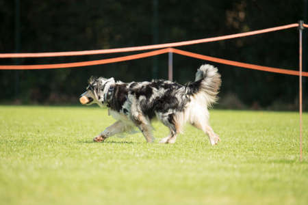 sequences: Dog, Australian Shepherd, walking with dumbbell
