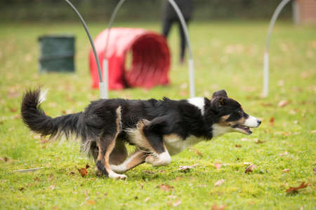 sequences: Dog, Border Collie, running in agility  competition