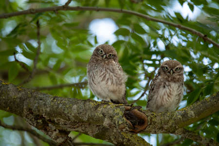 Two young Little Owls, sitting in a tree Stock fotó