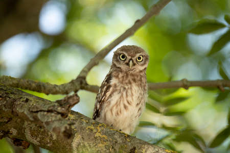 Young Little Owl (Athene Noctua) looking in camera