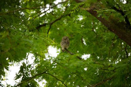 Little Owl (Athene Noctua) on a branch in huge tree Stock fotó