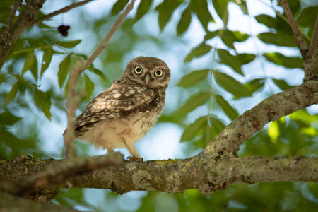 Young Little Owl (Athene Noctua) on a branch in a tree looking in camera Stock fotó