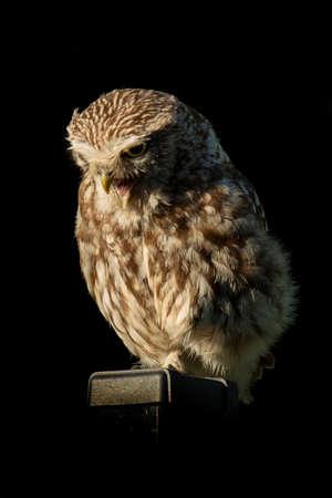 Little Owl on pole, isolated on black background Stock fotó