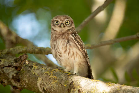Young Little Owl (Athene Noctua) on a branch looking in camera Stock fotó
