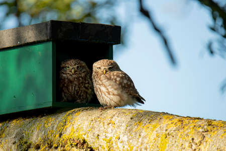 Little Owl, Athene noctua, mother and young