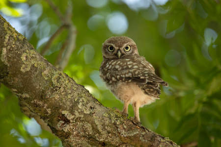 Young Little Owl (Athene Noctua) sitting on a branch