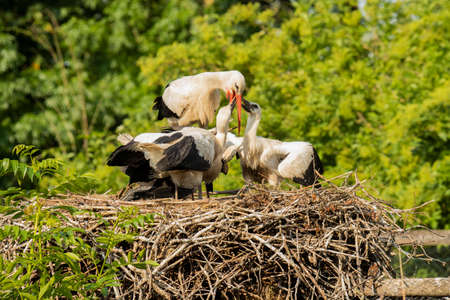 Stork feeding young at nest