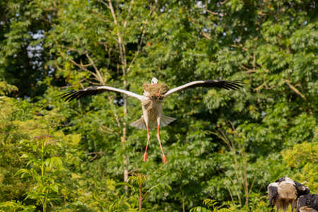 Stork flying with food for young Stock fotó