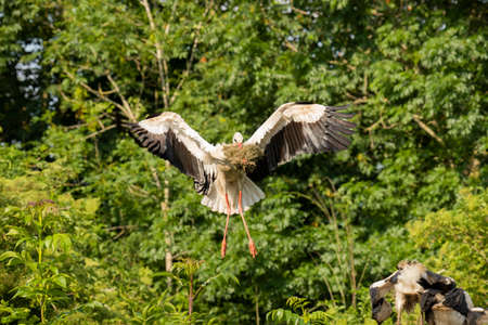 Stork flying with food back to nest
