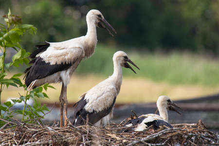 Three young Storks sitting at their nest Stock fotó