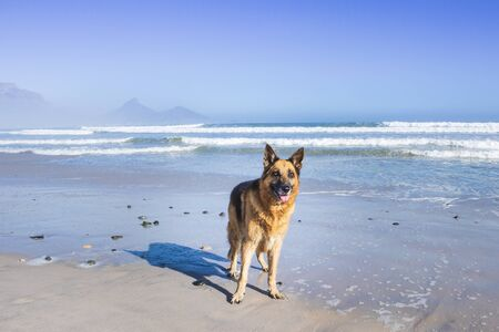 German Shepherd dog playing on the beach, Cape Town, South Africa
