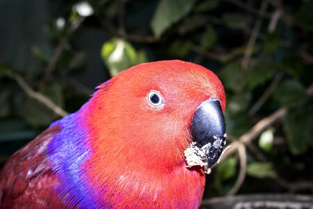 Brightly colored parrot eating, Cape Town, South Africa Stockfoto