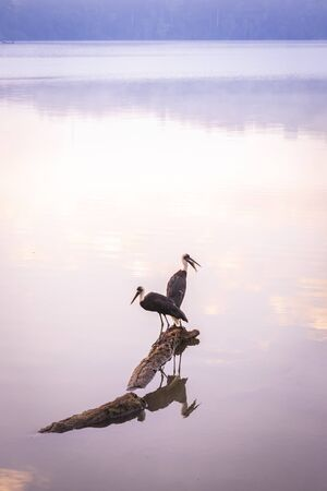 View of a misty Lake Nyabikere, with two woolly-necked storks (Ciconia episcopus) sitting on a log on the water at sunrise, Rweteera, Fort Portal, Uganda, Africa
