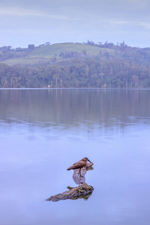 View of a hamerkop (Scopus umbretta) bird sitting on a dry tree growing on Lake Nyabikere, with and the reflections on the water at sunrise, Rweteera, Fort Portal, Uganda, Africa Banque d'images